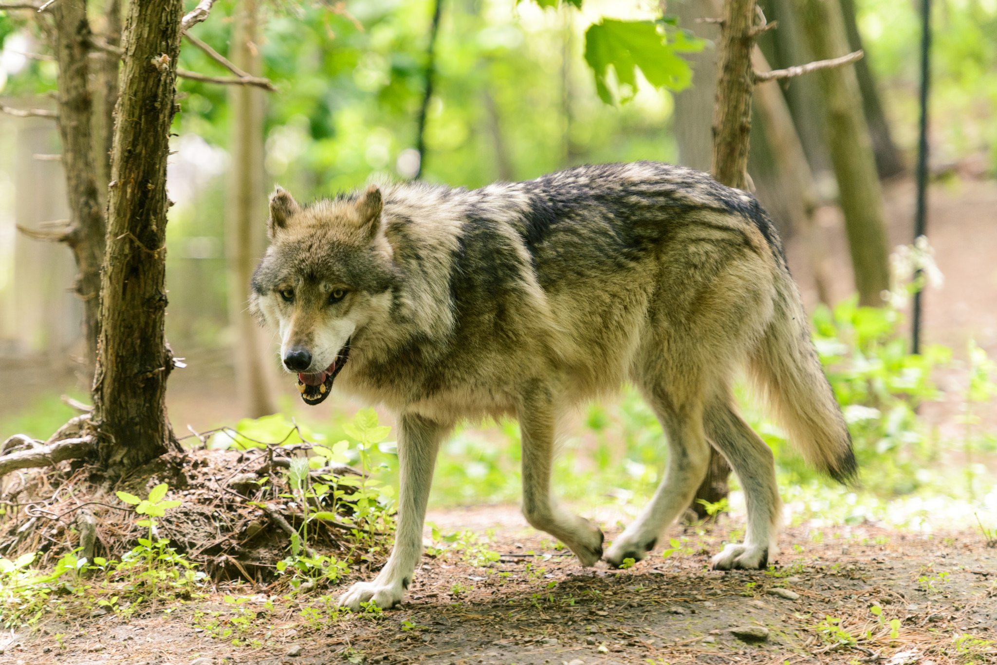 Dept. of Fish and Wildlife: deciding whether Oregon's gray wolves keep endangered species status