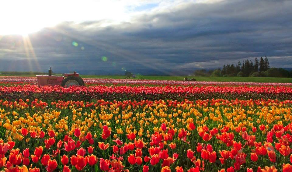 Oregon tulip festival in full bloom
